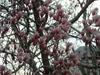 Magnolias4