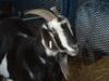 Goat_small